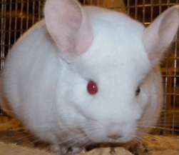 chinchilla colors pink-white