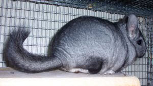Radha our chinchilla as a pet