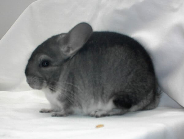 Chinchilla Colors Standard Grey
