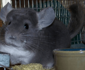 chinchilla colors violet.