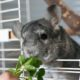 what do chinchillas eat - feeding vegetables