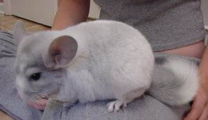 Chinchilla Colors White Violet