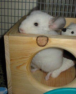 chinchilla as pet Z