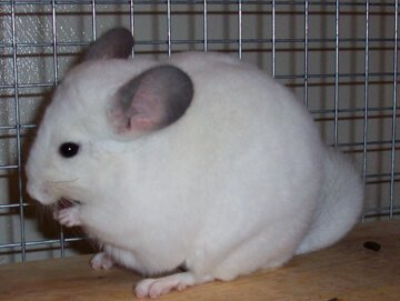 chinchilla as pet Z