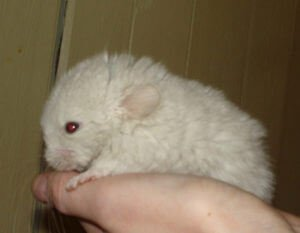 Read more about the article Chinchilla Bonding – What You SHOULD And SHOULD NOT Ever Do!