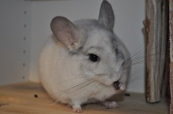 How To Tell If A Chinchilla Is Pregnant