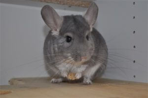 Is Owning A Chinchilla Difficult?