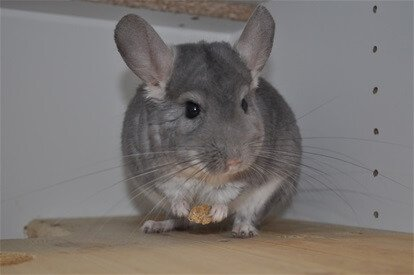 Read more about the article Is Owning A Chinchilla Difficult?