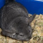 Ebony Chinchilla