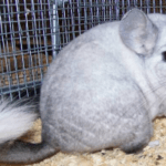 Ebony White Chinchilla