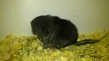 Baby Ebony Chinchilla
