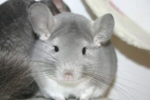 Read more about the article Violet Chinchillas + Breeding Violet, White Cross Formula