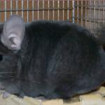 violet-wrap-chinchilla