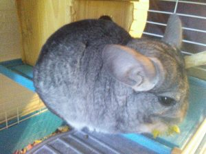 Read more about the article 4-29-19 Ashes and Jasper Update – Chinchilla Introductions