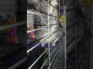 How Many Chinchillas Can Live Together & Chinchilla Introductions