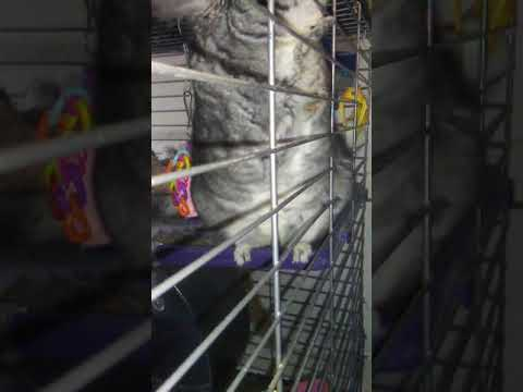 Chinchilla Introductions Day 1