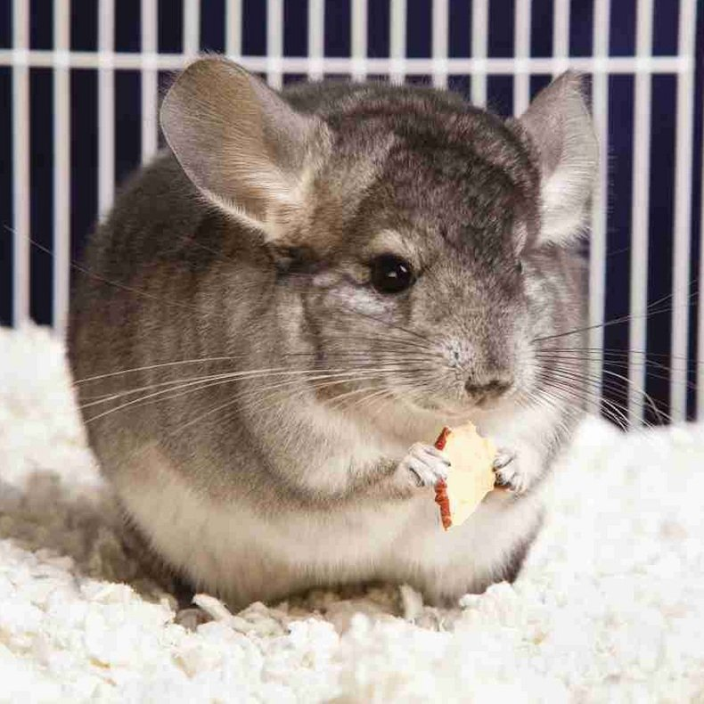 What are the best treats for chinchillas?