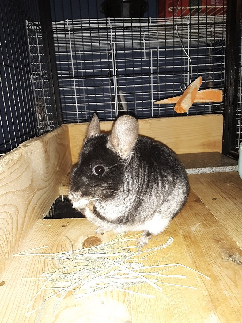 Chinchilla Hay: Expert Advice You Need To Know Right Now!