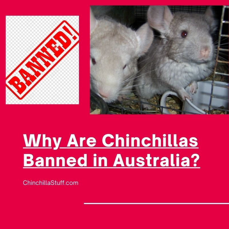 Read more about the article Why are chinchillas banned in Australia?
