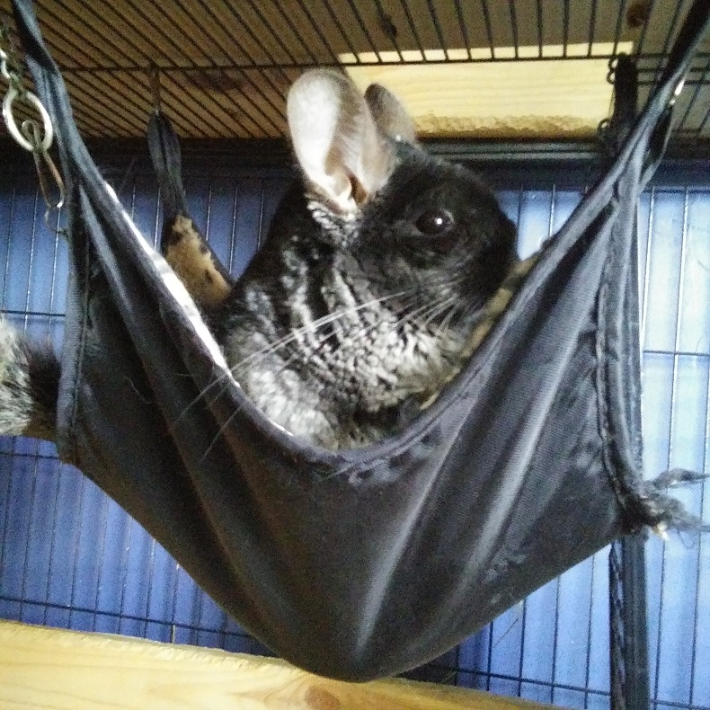 Are Chinchillas Hypoallergenic?