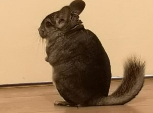What does it mean when chinchillas wag their tails?