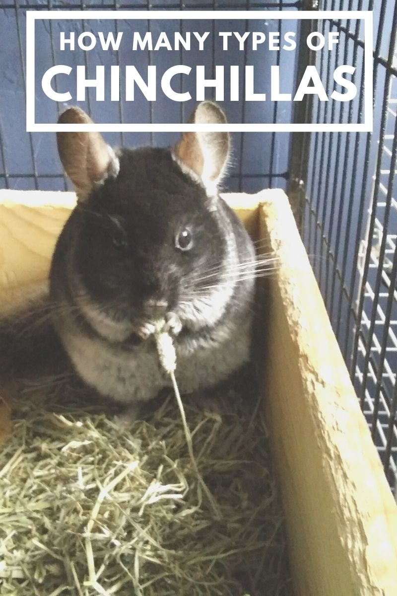 How Many Types of Chinchillas Are There?
