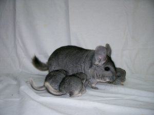 What Do Chinchilla Sounds Mean?